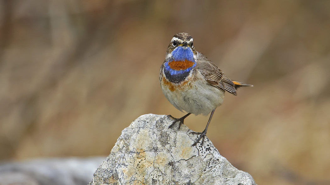 A Bluethroat standing on a stone looking at the camera.