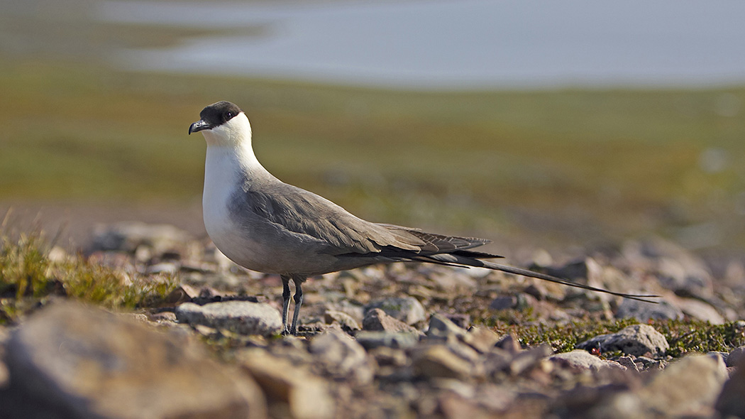 A Long-tailed skua standing amongst the stones looking at the camera.
