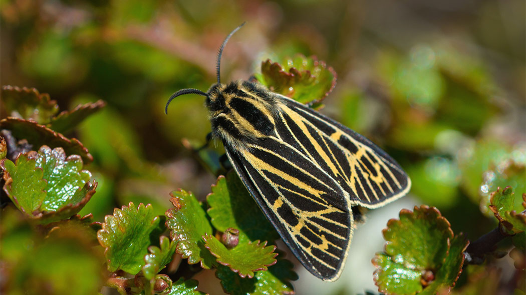 The Labrador Tiger Moth (Grammia quenseli). Photo: Teppo Salmela