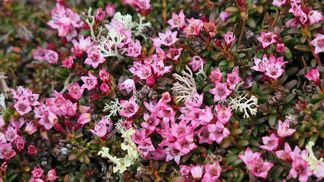 On top of the fells and on their wind-whipped slopes you can find little pink Alpine Azalea (Loiseleuria procumbens). Photo: Siiri Tolonen.
