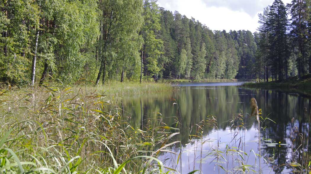 A small lake surrounded by a pine forest. A few birch trees are growing amongst the pines. Reed and a few Yellow Water-lilies grow in the foreground.