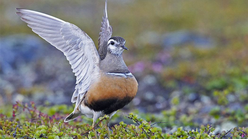 Eurasian Dotterel (Charadrius morinellus) lives in the bare fell zone of the fells. Photo: Markus Varesvuo.