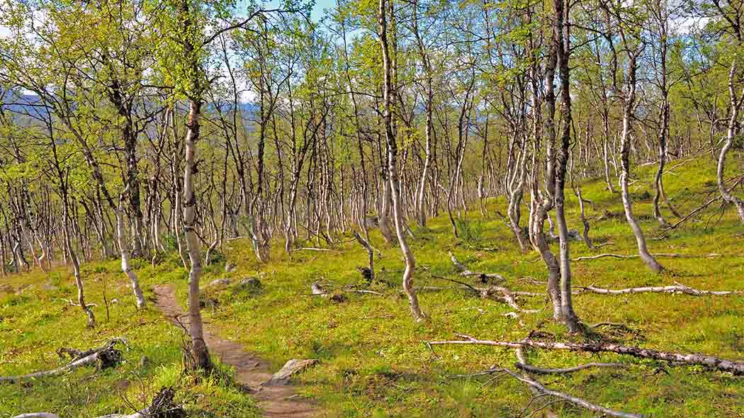 The Mountain Birch (Betula pubescens ssp. czerepanovii) is the dominant species in the area. Photo: Seija Olkkonen.