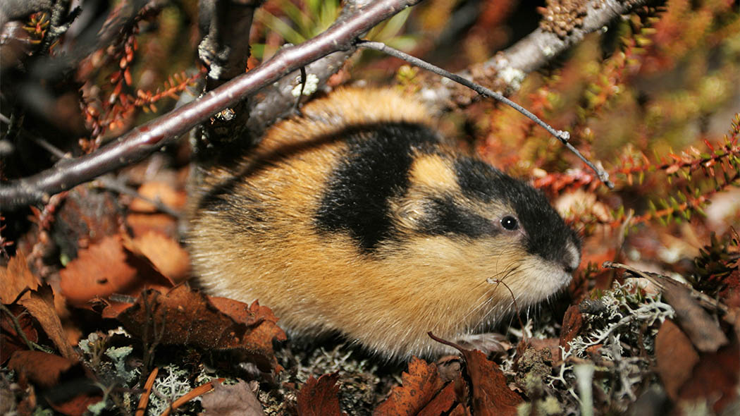 The Norway Lemming is a typical mammal of the high-fell area, and it is well adapted to the bare fell conditions. Photo: Pekka Sulkava.