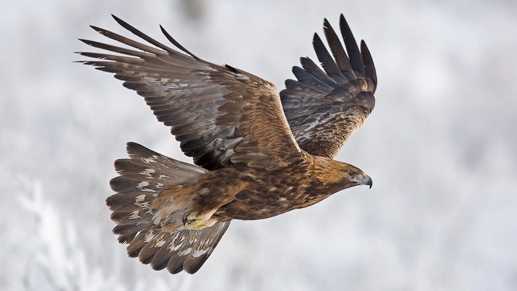 Metsähallitus has the national responsibility of promoting conservation and organising monitoring of certain threatened species like the Golden eagle (Aquila chrysaetos). Photo: Martti Rikkonen.