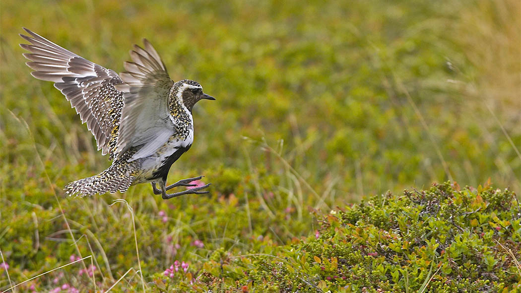 Golden Plover (Pluvialis apricaria) breeds on arctic fells, in mountain birch stands and on bogs and mires. Photo: Markus Varesvuo.