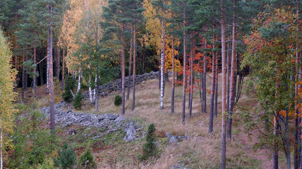 Grass is growing on the esker slope, stone banks can be seen amongst the grass. Tall pine trees and birch trees in autumn colours grow in the area.