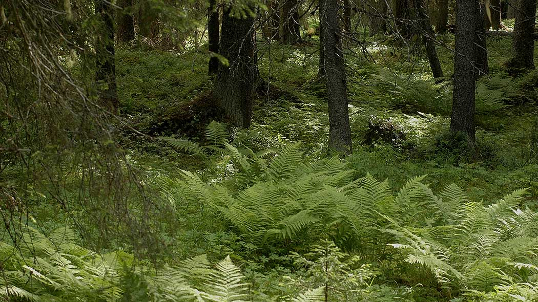 A picture taken in a coniferous forest. The ground is covered in densely grown ferns.
