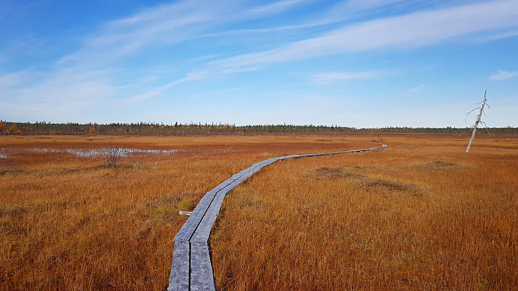 Winding duckboards over an open minerotrophic bog in autumn colors. In the background is a mixed forest, sky is blue and has light clouds.
