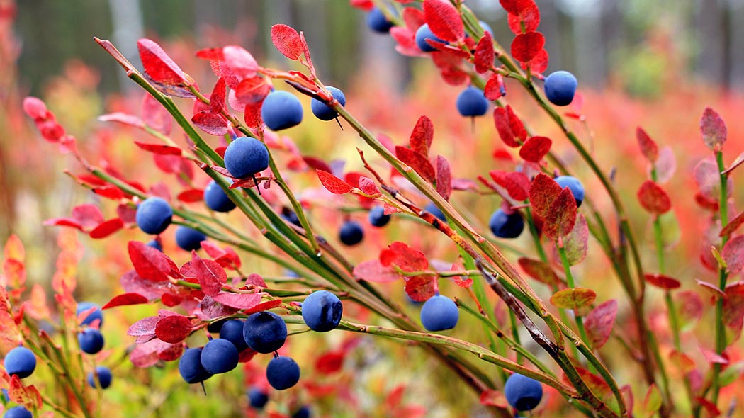 Blueberry in autumn color.