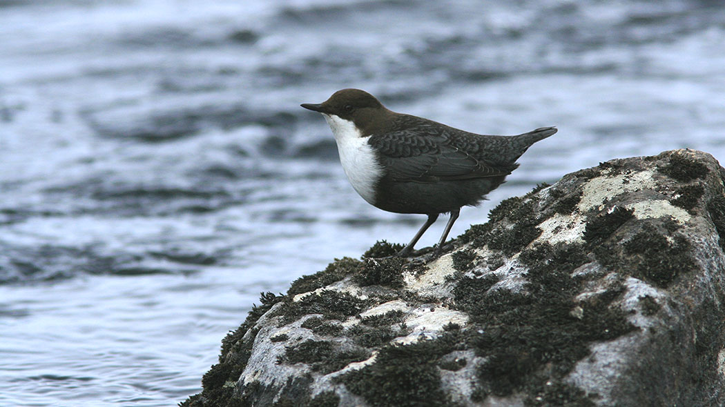 White-throated dipper standing on a rock.