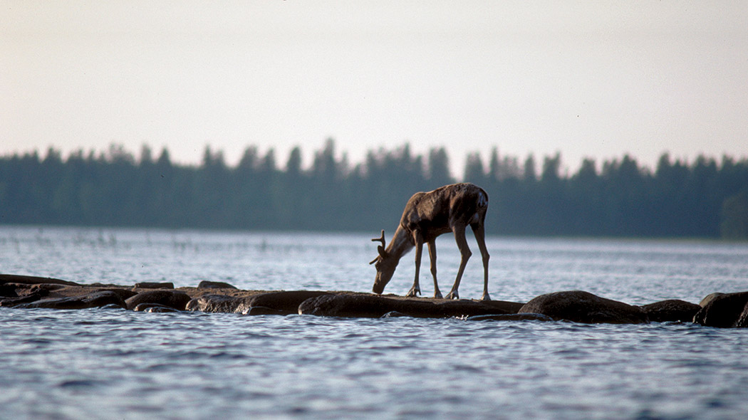 Wild forest reindeer in a lake landscape.