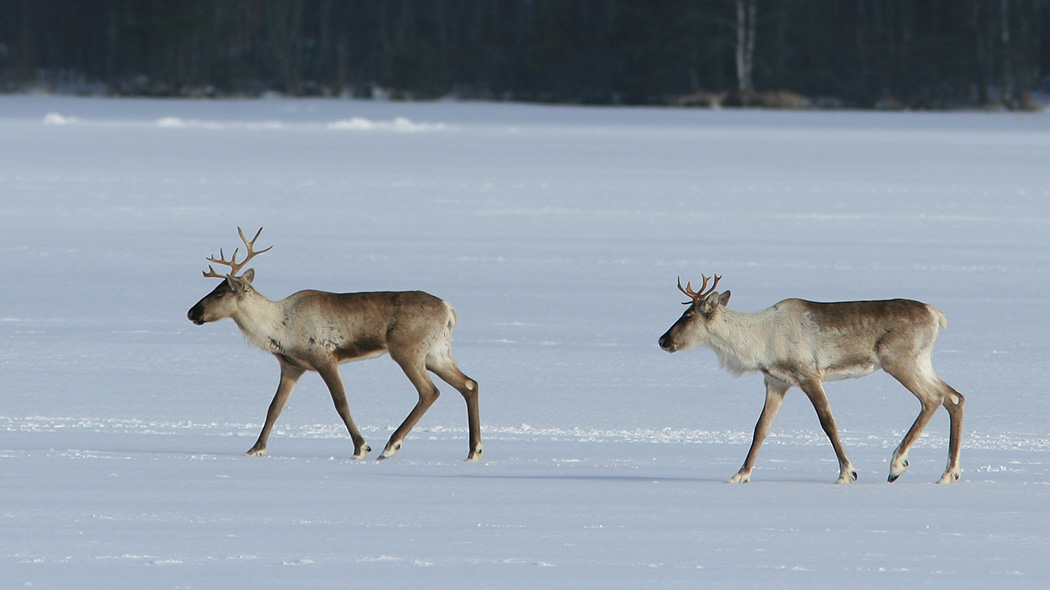 Two Wild forest reindeer walking on ice.