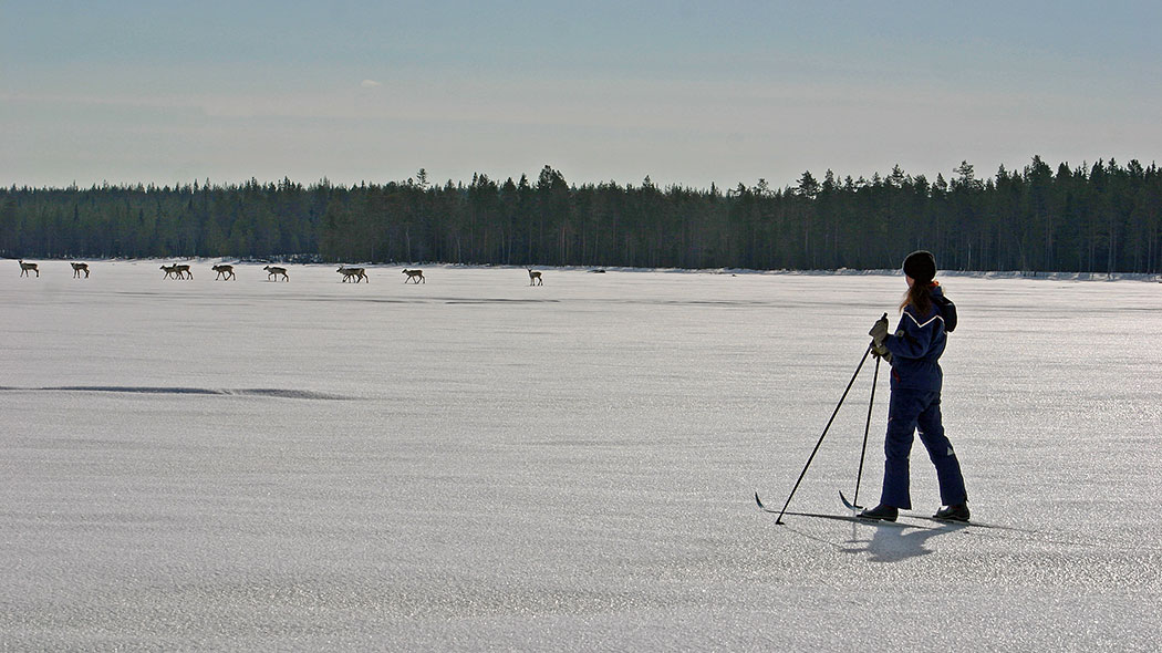 Skier watching Wild forest reindeer on lake ice.