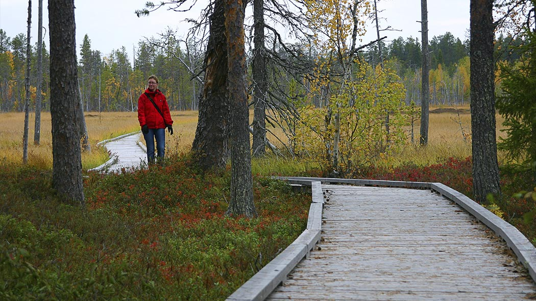 A person walking on broad duckboards at an autumn colour mire towards a pine forest.