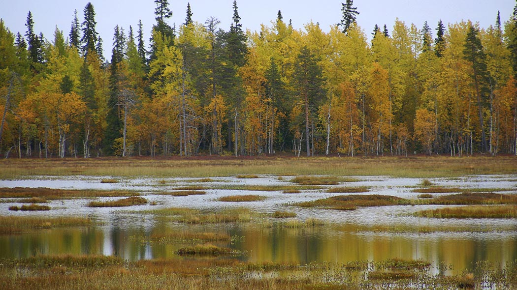 A very wet mire with a mixed forest in the background in autumn foliage.