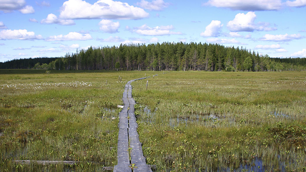 Duckboard trail through a wet open mire with cotton grasses in bloom. In the background is a small forest hill and the weather is light clouded.