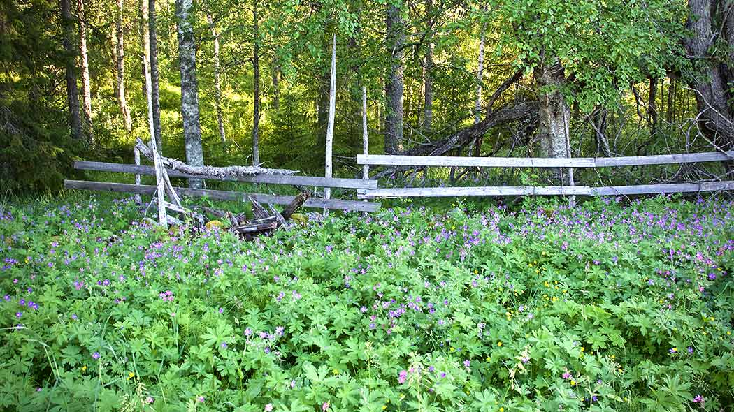 Wildflowers flowering on the meadow. There is a forest behind the wooden fence.