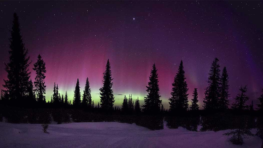 A spruce forest in the winter with aurora borealis northern lights in the sky.