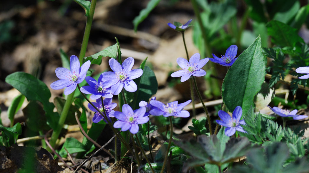 The Common hepatica in bloom, the rays of the sun hits the petals.