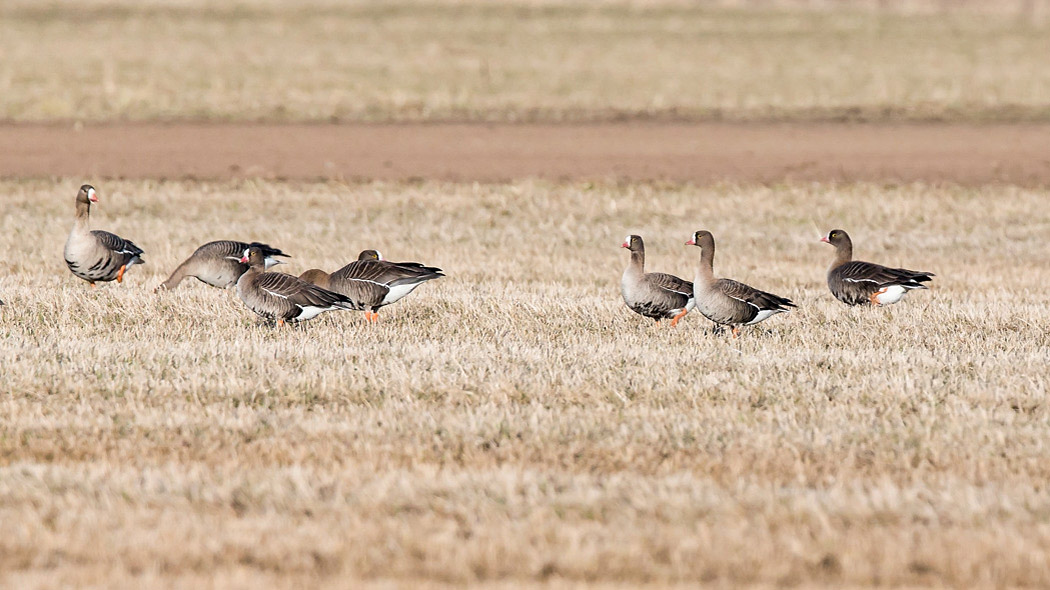 The Oulu region is one of the only places where you can see the endangered lesser white-fronted goose. Photo: Ville Suorsa