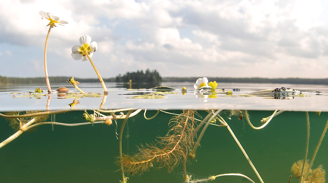 Cross-section image of a lake. In the foreground you can see aquatic vegetation. The roots can be seen under the water surface, and the flowers above. In the background is an island and a shoreline. The lake is calm.