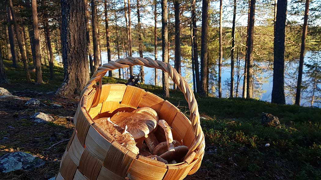 Matsutake mushrooms. Photo: Annu Tuohiluoto