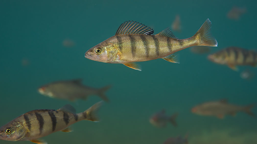 A perch in the water. The characteristics of the fish are clearly visible.
