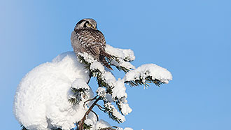 Northern hawk-owl (Surnia ulula). Photo: Olli Lamminsalo