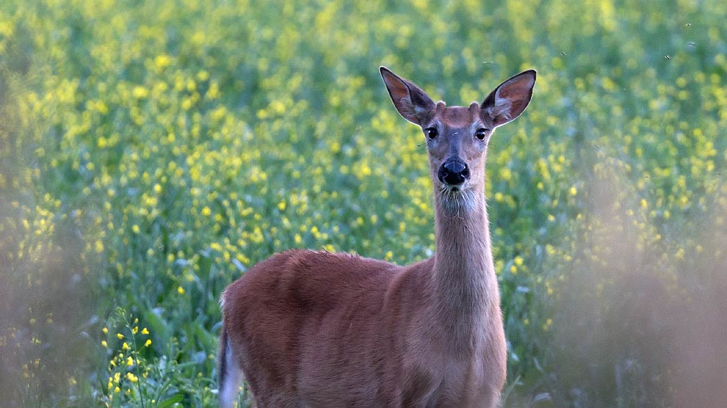White-tailed deer. Photo: Jari Kostet.