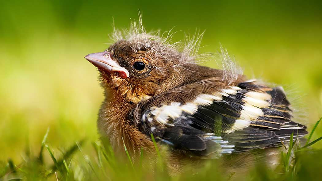 Close-up of a young common chaffinch in some grass. Delicate hairs rise from the bird's head and back.