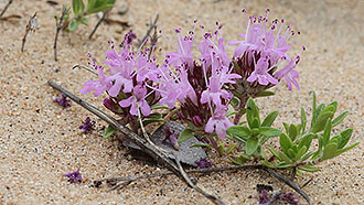 Creeping thyme (Thymus serpyllum). Photo: Petri Lampila