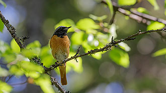 Common redstart. Photo: Jaana Paasovaara