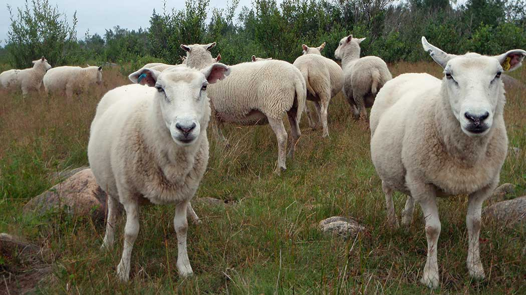 Sheep on a summery pasture.
