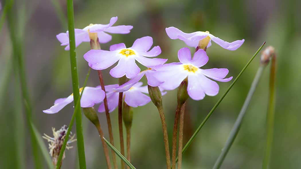 The Siberian primrose with its light purple flowers.