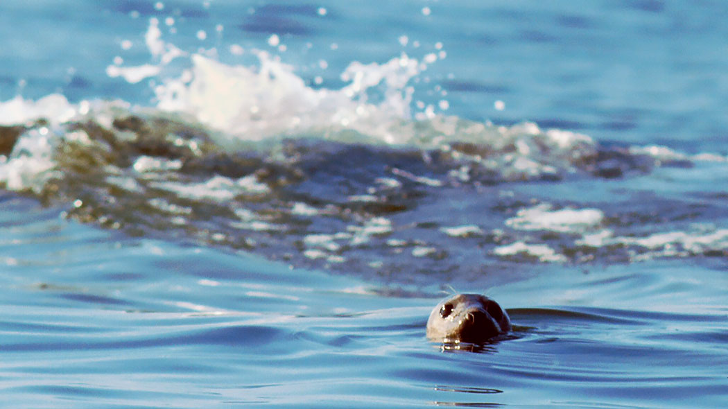 A grey seal peeking up above the water. Waves hitting a rock in the background.