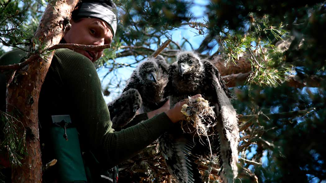 A man sitting in a tree leaning against a pine branch ringing white-tailed eagle chicks. There are two chicks in the nest.