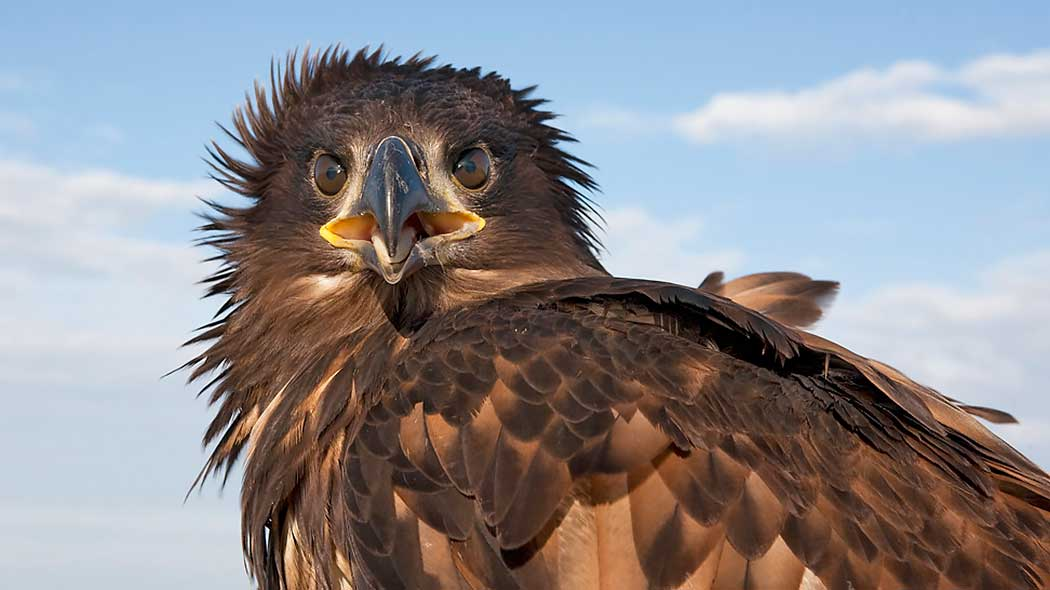 Close-up of a white-tailed eagle. The eagle has its beak open.