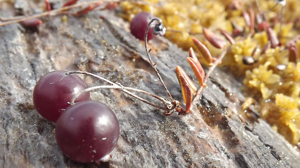 A close-up of three cranberries on a stone.