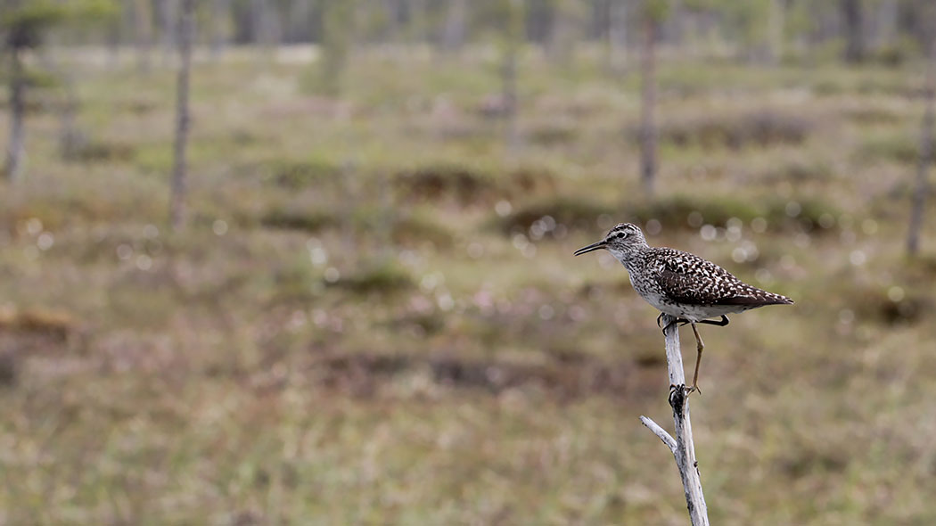 A wood sandpiper sitting on a stick in a march landscape.