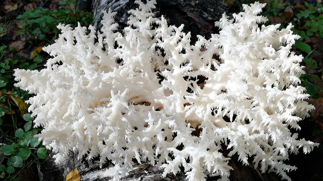 The coral tooth fungus (Hericium coralloides). Photo: Tiina Linsén.
