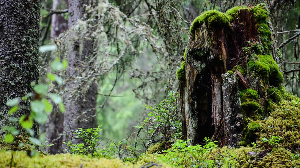 A rotten tree stump covered with moss.