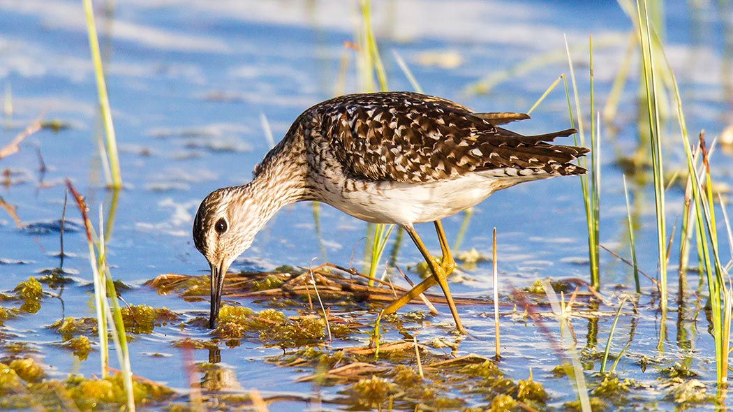 A wood sandpiper looking for food in shallow water.