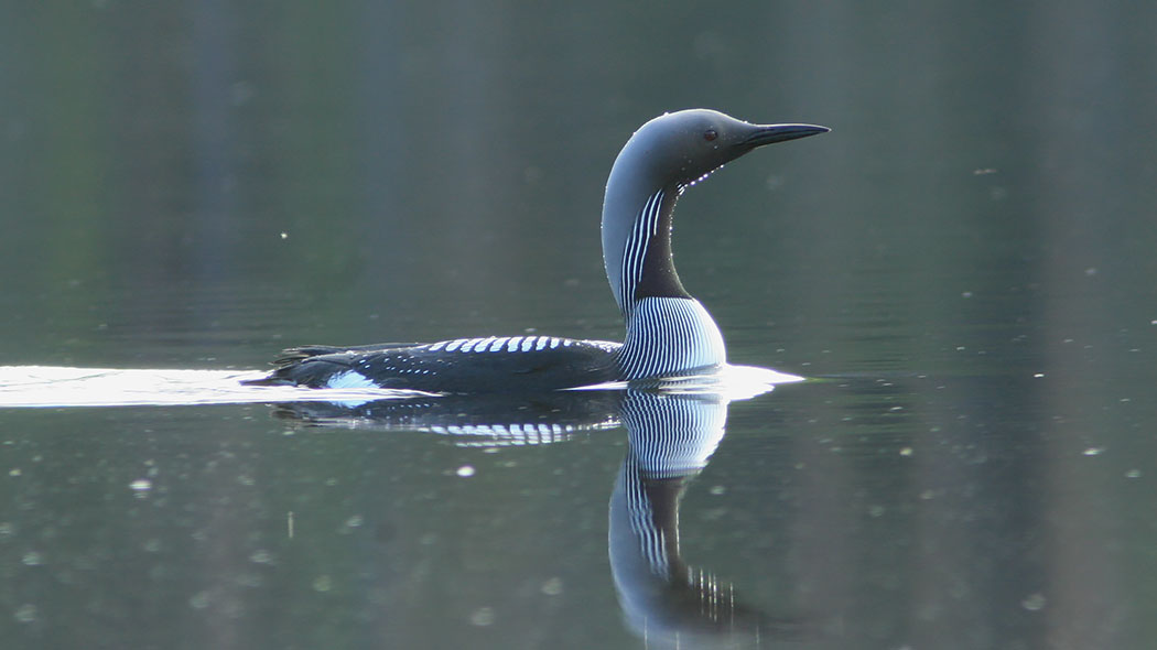 Black-throated Diver (Gavia arctica). Photo: Metsähallitus