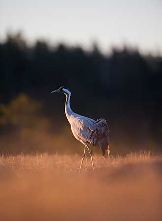 The Common Crane (Grus grus). Photo: AK