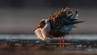 A male Ruff (Calidris Pugnax). Photo: Kari Leo