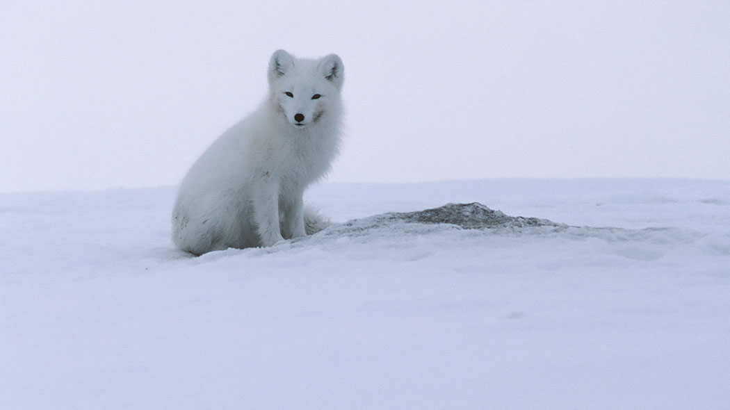 The arctic fox in its wintercoat. Photo: Seppo Keränen.