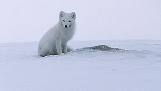 Arctic Fox (Vulpes lagopus). Photo: Seppo Keränen