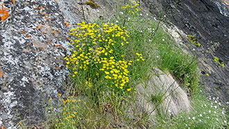 The narrow-leaf hawksbeard grows on the cliffs. Photo: Mia Vuomajoki/MH.
