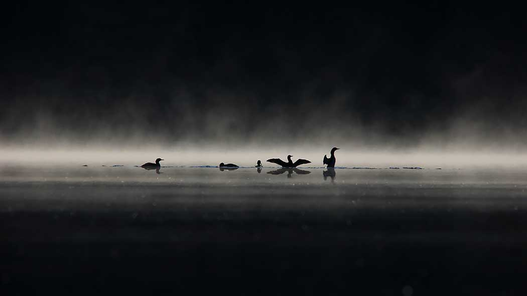 Five waterbirds are swimming in a dark lake. Water vapour is rising from the surface of the lake.